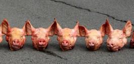 свиные головы